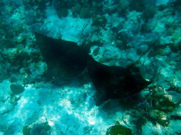 Huge Manta rays...